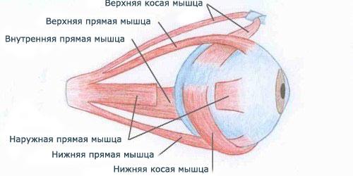6 мышц глаз человека