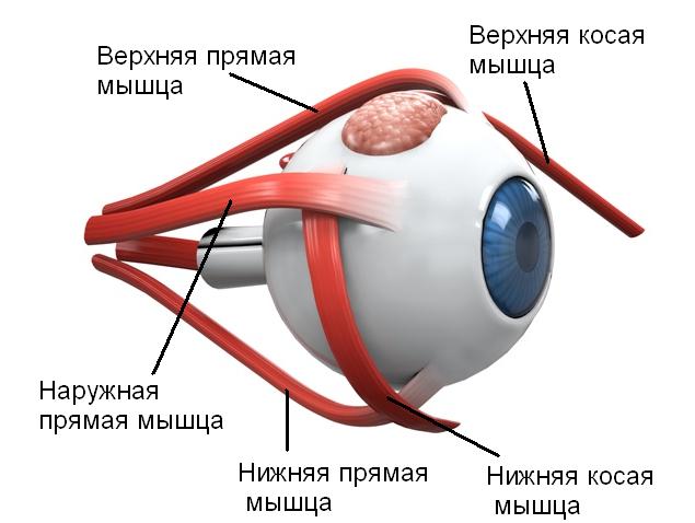 Внешние глазные мышцы