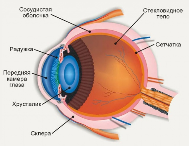 Причинами появления мушек перед глазами может стать поражение стекловидного тела