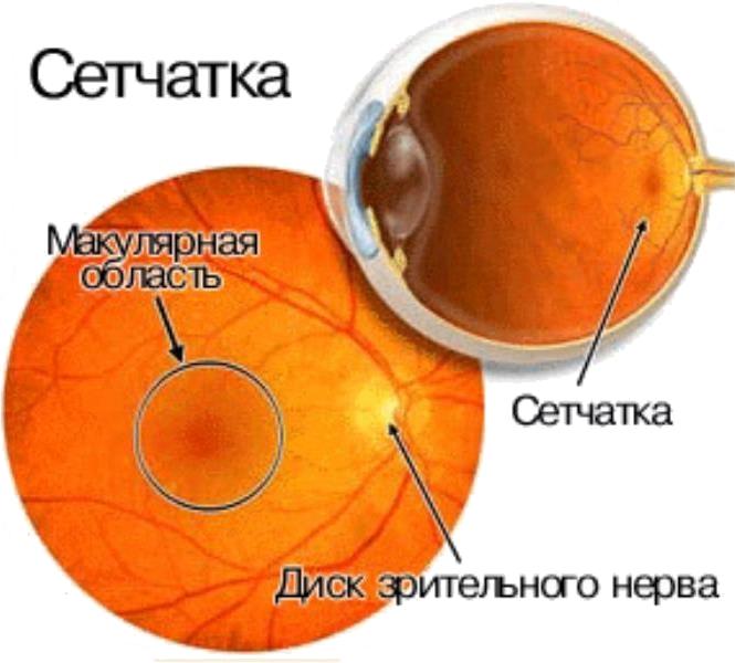 Внутренняя оболочка глаза называется сетчаткой. Она преобразовывает принимаемые лучи света в нервные импульсы