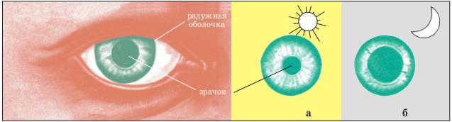 Диаметр зрачка на свету (а) и в темноте (б)