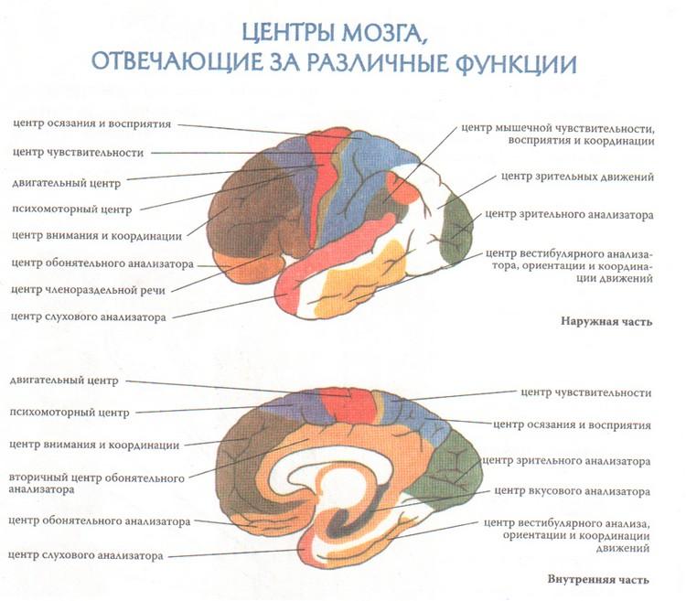 Центры мозга, отвечающие за различные функции