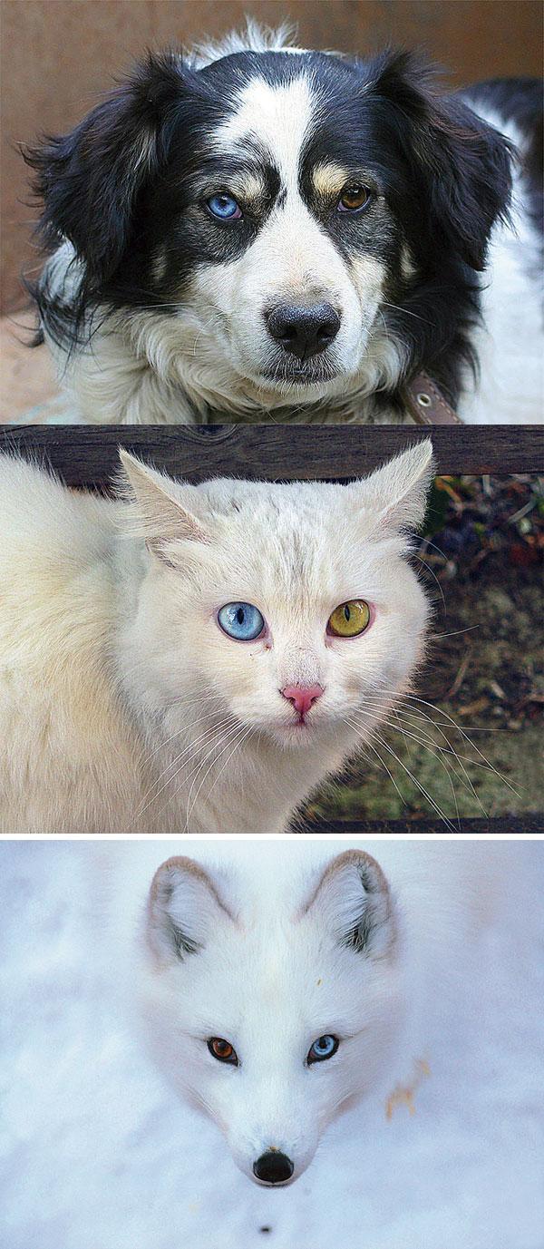 Животные с полной гетерохромией
