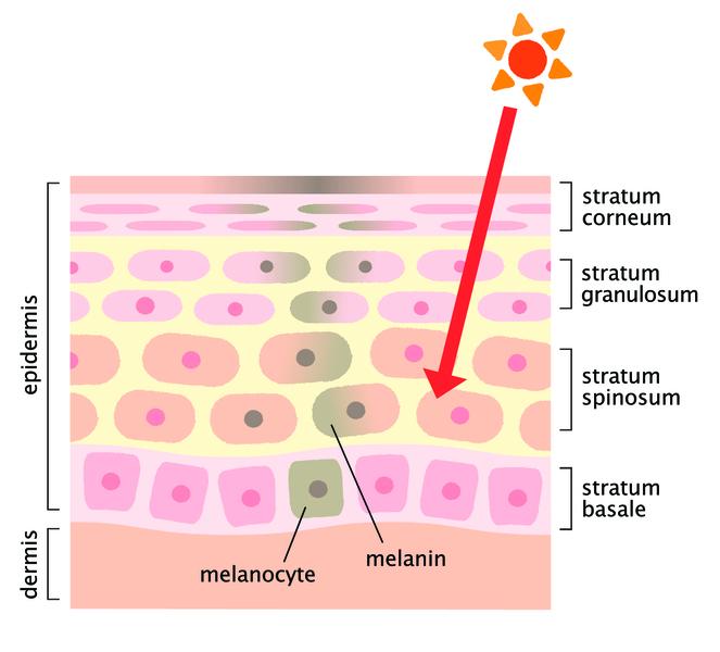 Меланин в организме человека