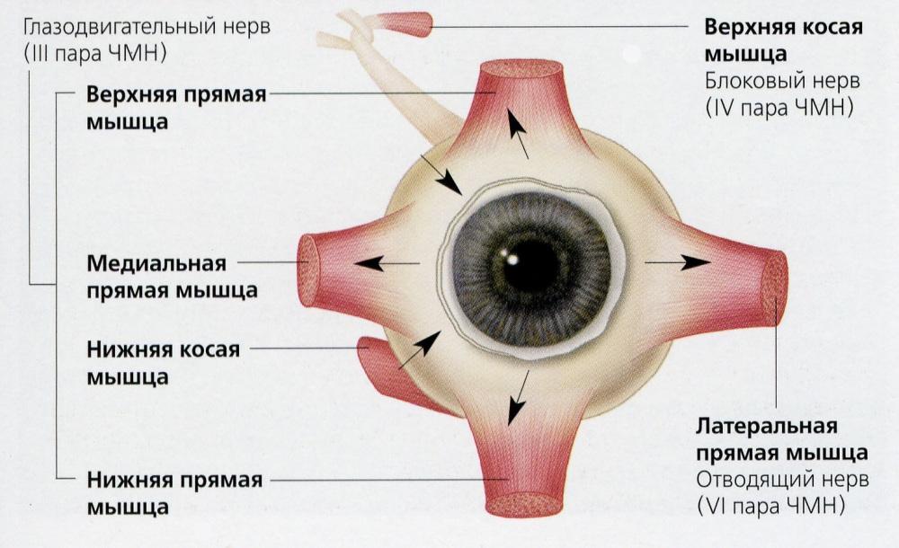 Нервы и кровеносные сосуды глаза