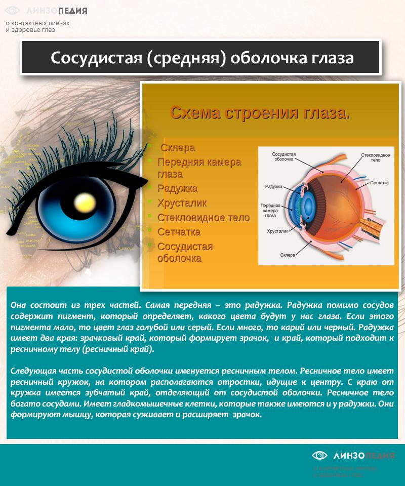 Сосудистая (средняя) оболочка глаза