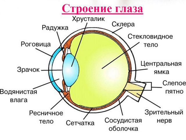 Строение глаза человека (схема)