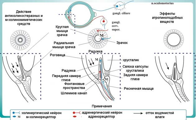 Физиология глаза