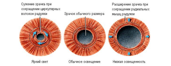 Зрачок глаза: функции и зрачковый рефлекс