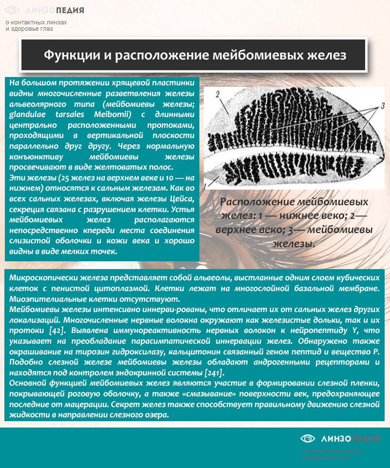 Функции и расположение мейбомиевых желез