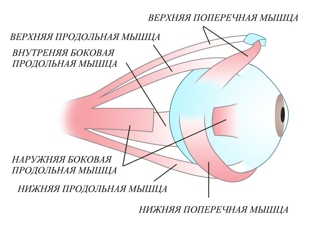 Упражнения для мышц глаза