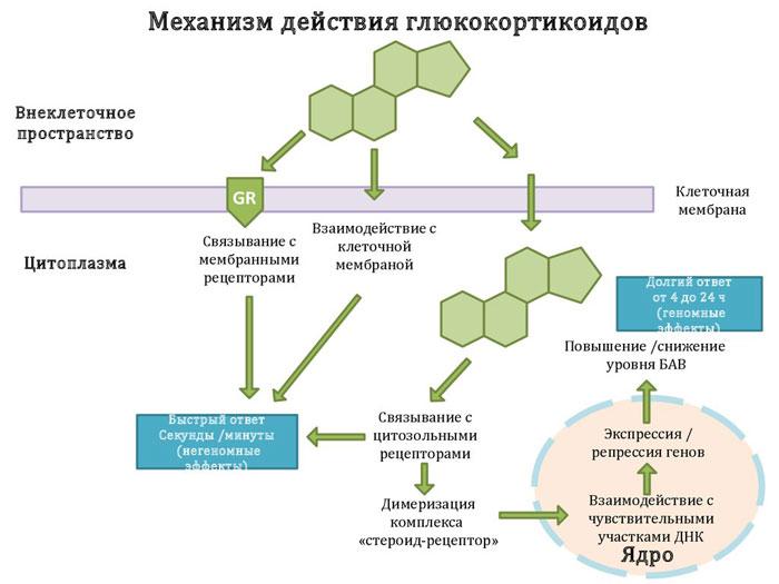 Глюкокортикостероиды - механизм действия