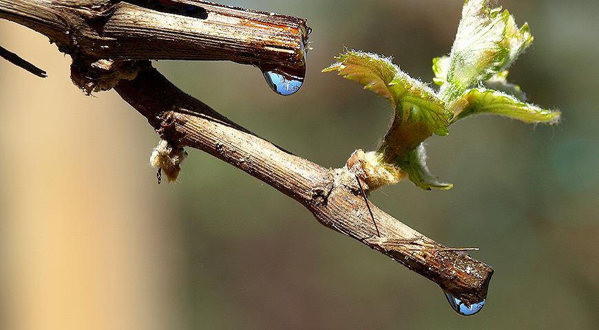 Сок виноградной лозы