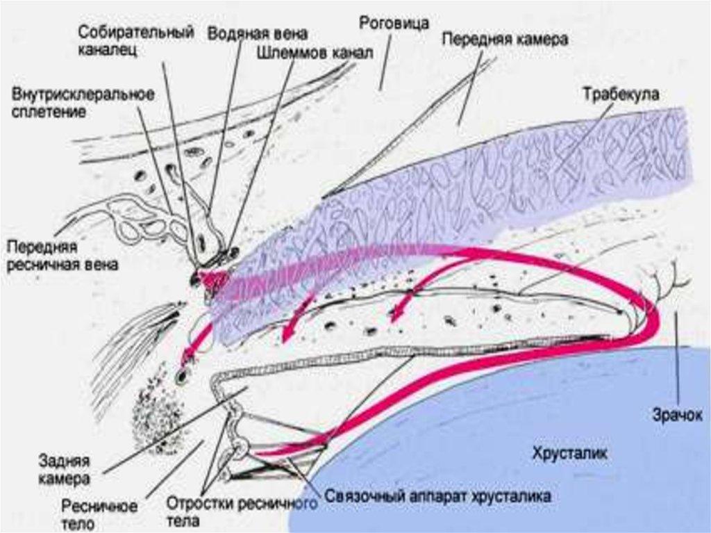 Схематическое представление путей гидродинамики глаза