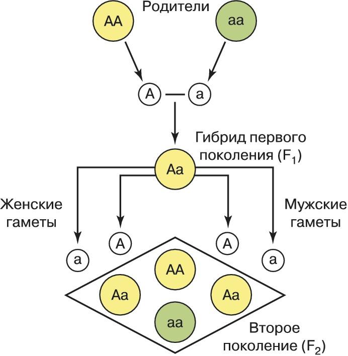 Схема первого закона Менделя