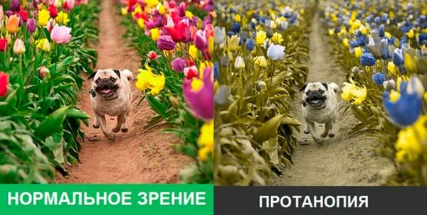 Протанопы неправильно различают следующие цвета: зеленый, желтый, пурпурные оттенки