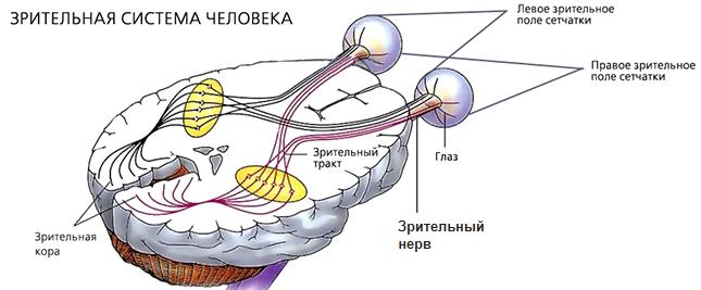 Зрительная система человека