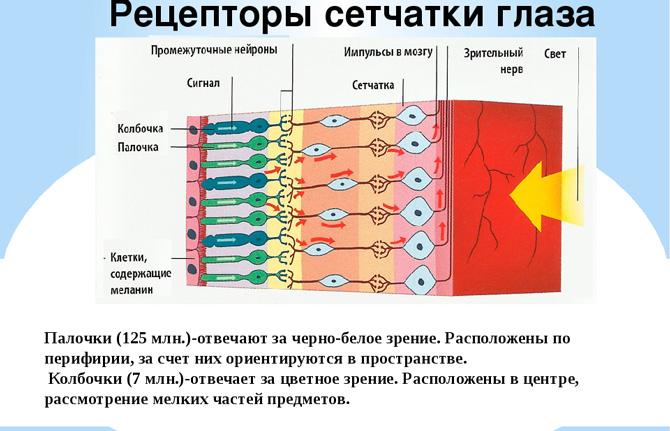 Рецепторы сетчатки глаза